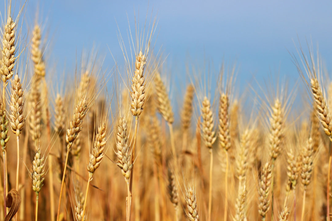 Spikes of golden ripe wheat on a blue sky background