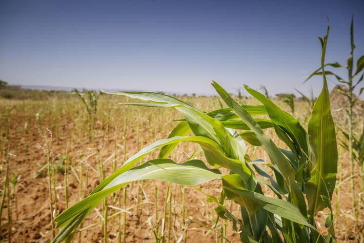 FAO corn field