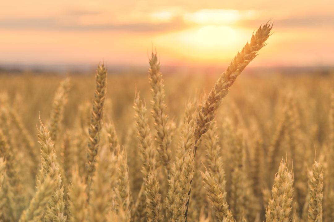 Canada wheat field