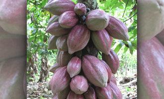 Cargillcocoabeans lead