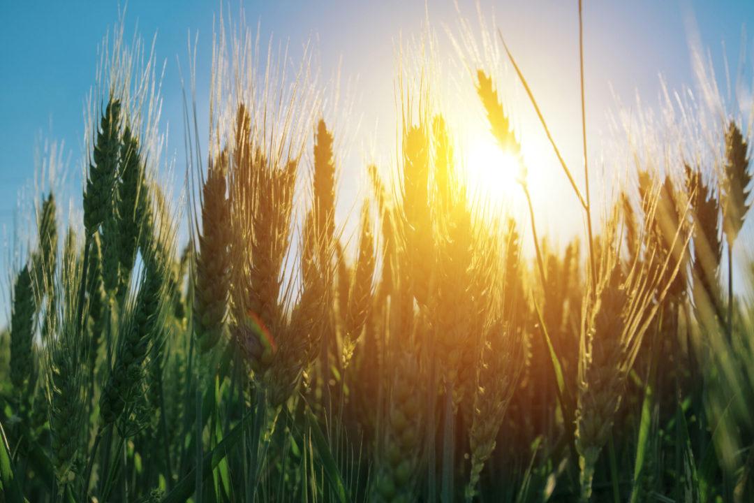 Scoular barley