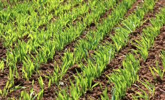 Wheatplanting lead