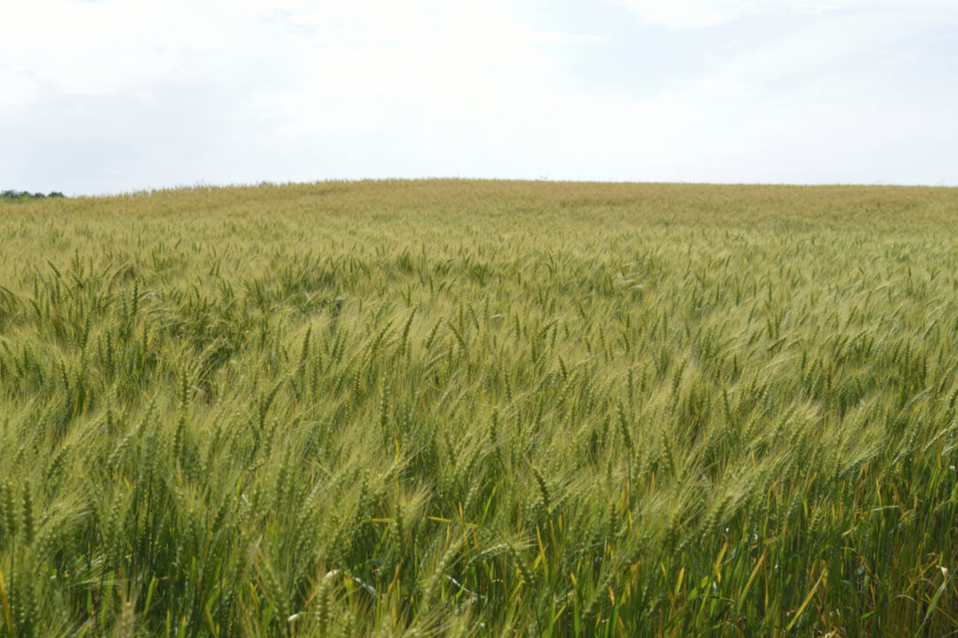 Field of spring wheat