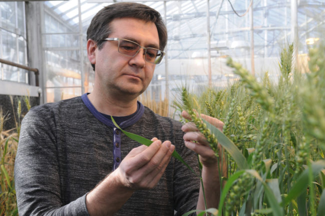 Kansas State University wheat geneticist and pathologist Eduard Akhunov