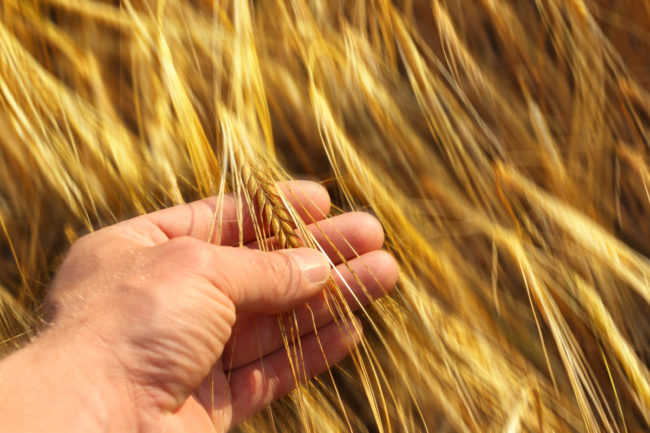 Analyzing wheat