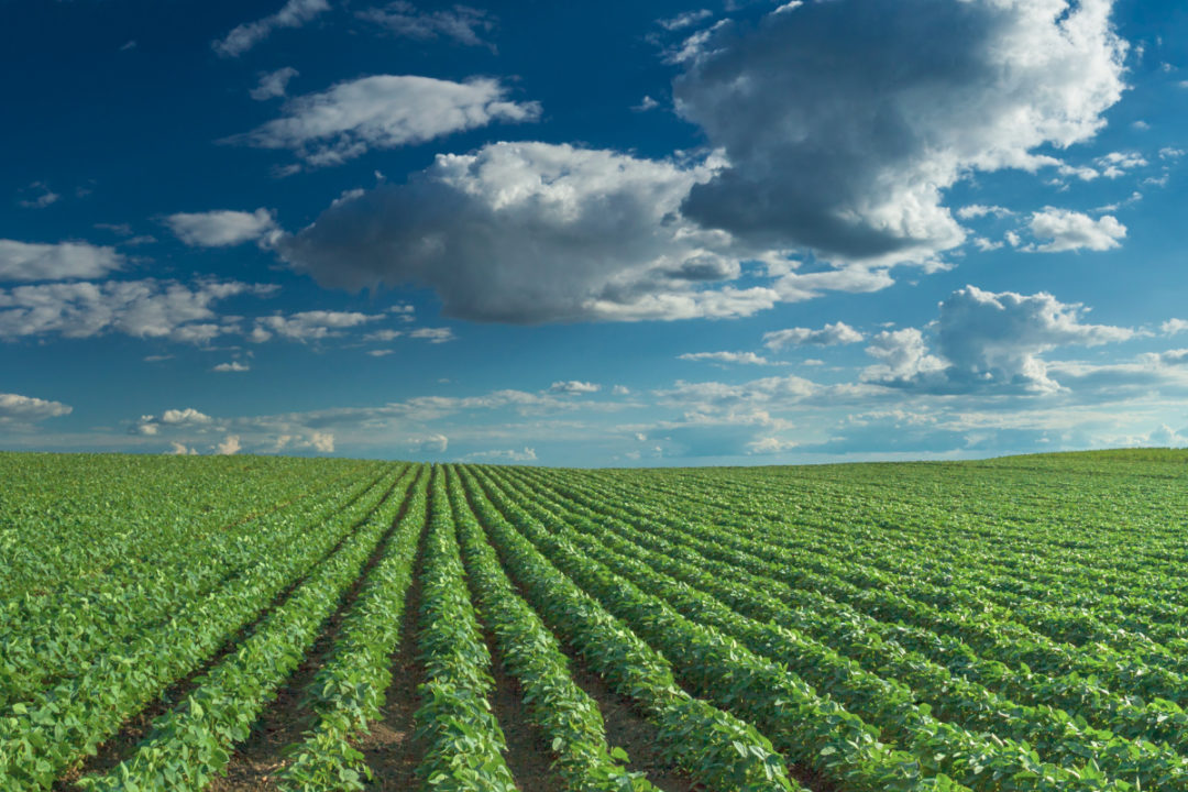 Rows of soybean crops