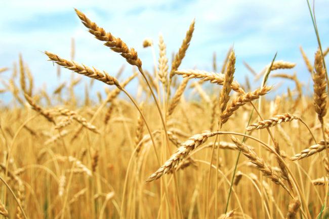 Wheat field in Russia