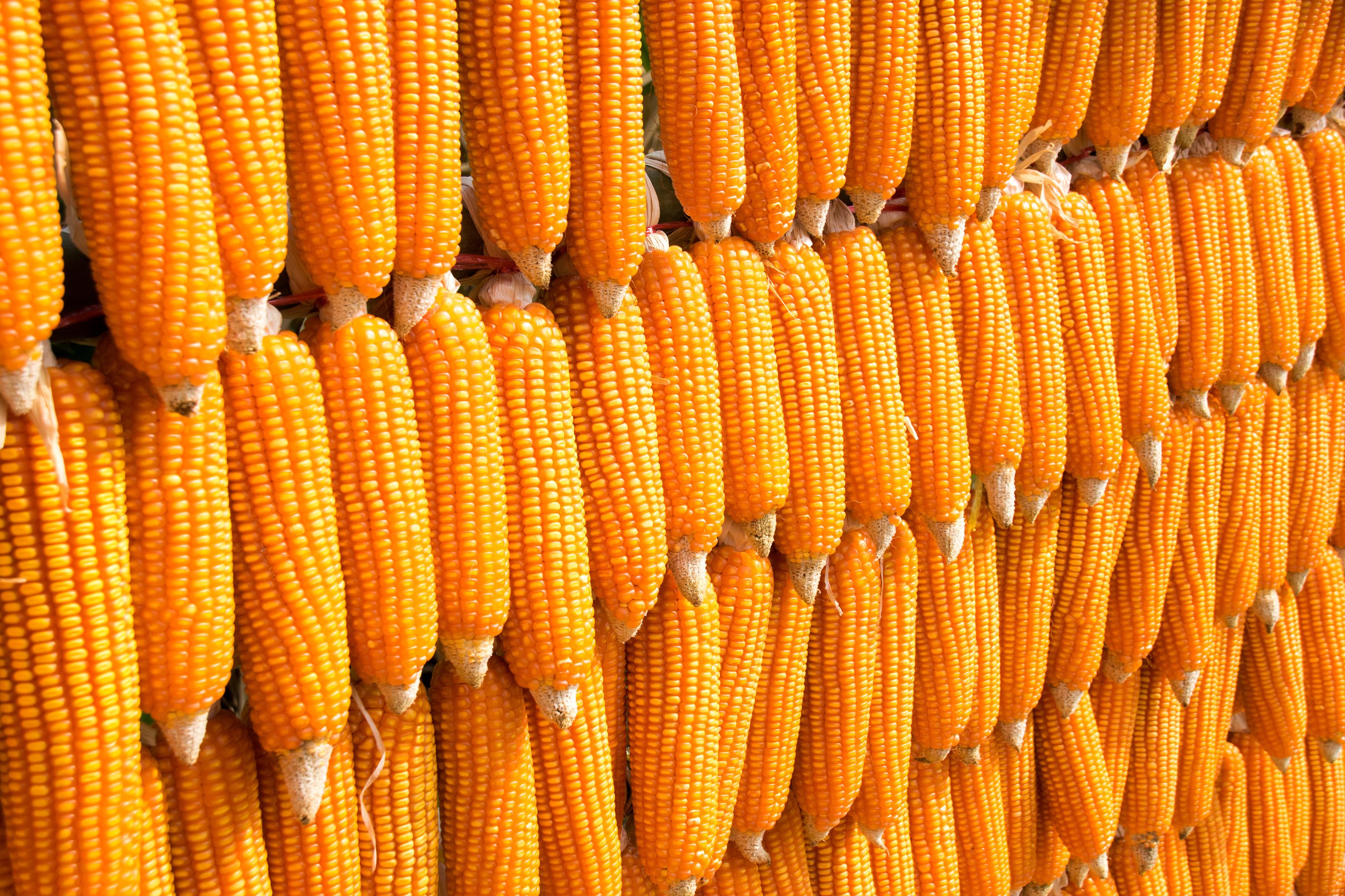 Corn origins