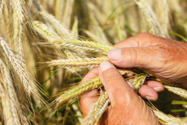 Wheat inspection