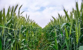 Biowheat1200x800
