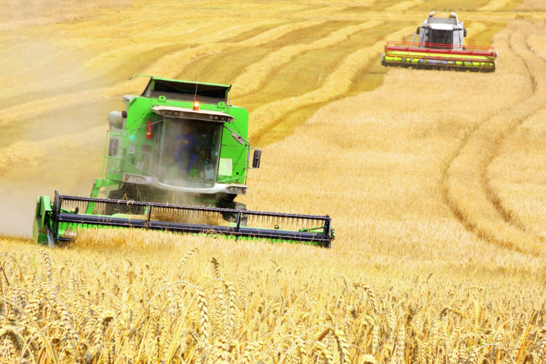 Combines harvesting wheat