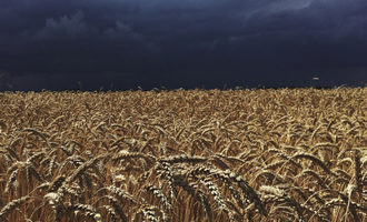Rainwheat_lead