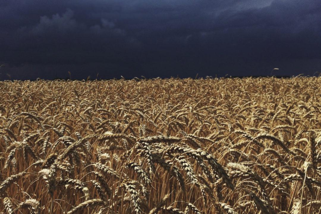Rain storm over wheat field