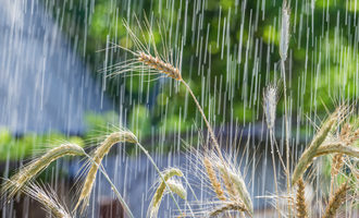 Rainwheat_lead1