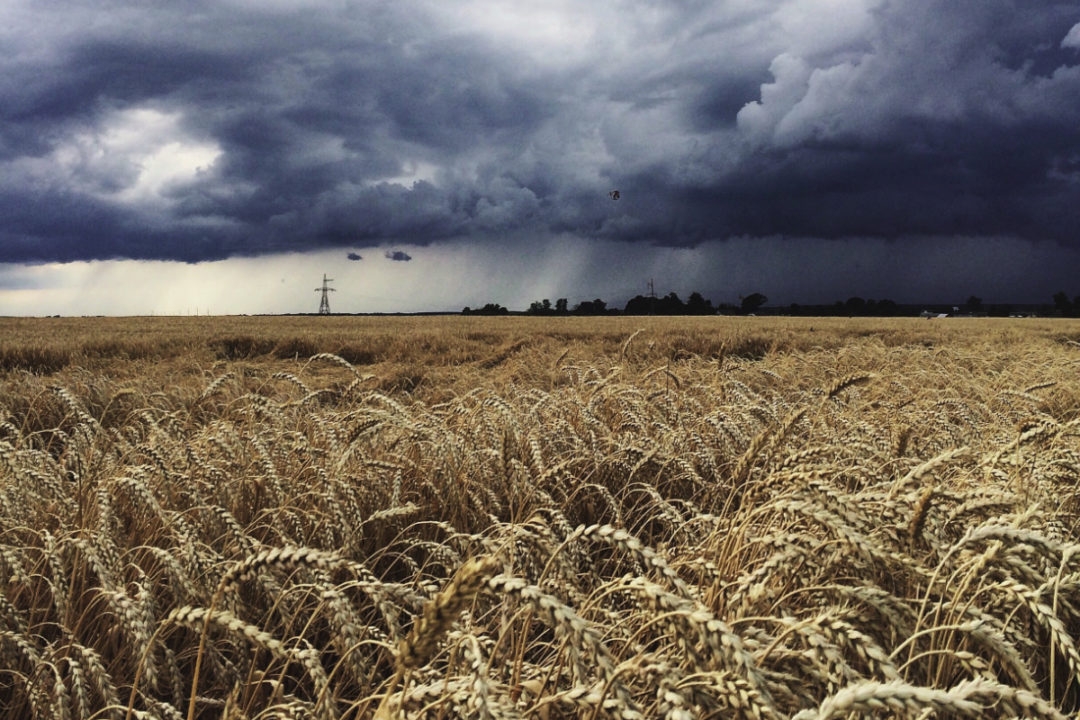 Rainstorm over wheat field