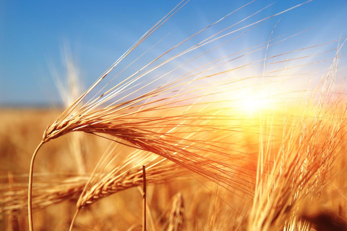 Kansas Wheat Harvest Advances Under Extreme Heat 2018 06