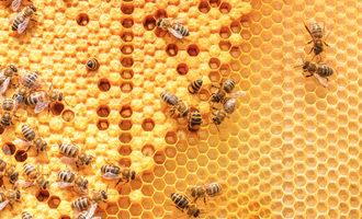 Honeybeecolony_lead