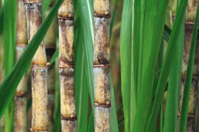 Amyris, Inc. sugarcane