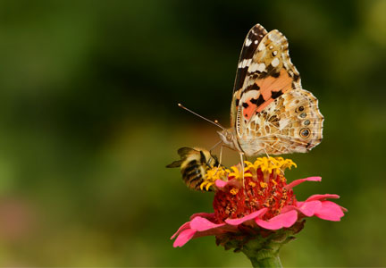 Bee and butterfly pollinating a flower