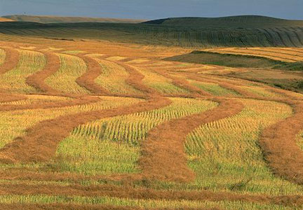 Canada wheat field