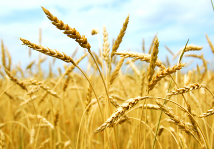 Despite larger crop, smaller wheat supplies anticipated in 2018-19