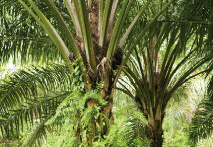 Dupont, Palm Oil