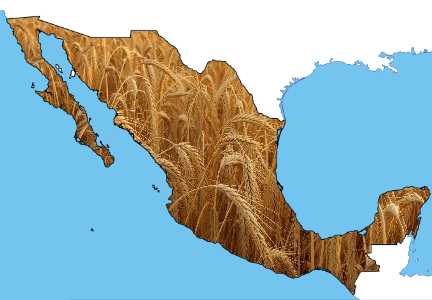 Mexico wheat