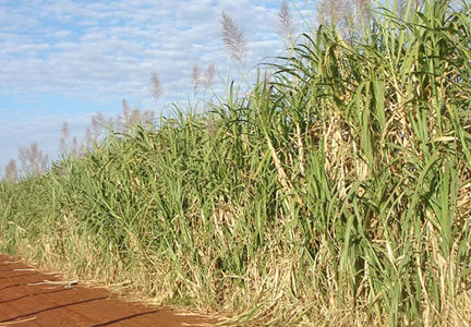 Sugarcane plantation in Brazil, ADM