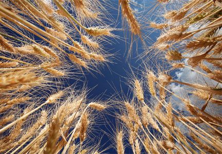 Wheat genome sequencing